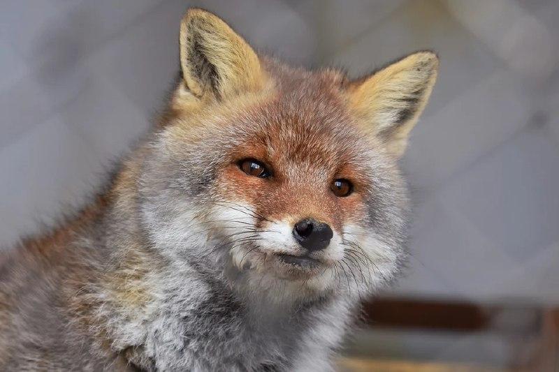 В Старом сиреневом саду появилась лиса